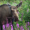 Fireweed For Lunch