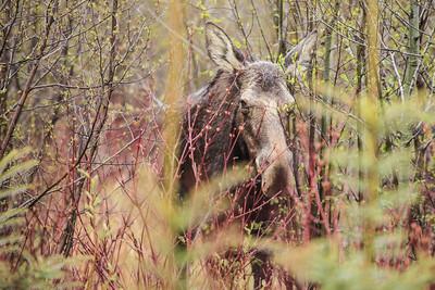 """MOOSE 3754  """"Shy Moose"""""""