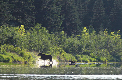 "MOOSE 9896  ""Moose cow and calf crossing the Pigeon""  Pigeon River - Grand Portage, MN"