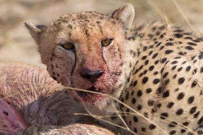 Cheetah, Hwange National Park, Zimbabwe