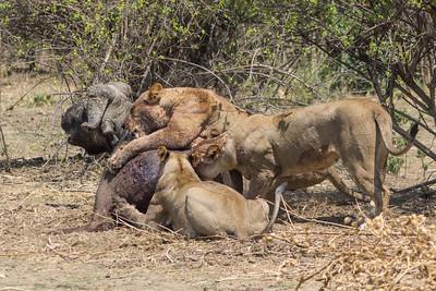 Lion and Cape Buffalo, Mana Pool National Park, Zimbabwe