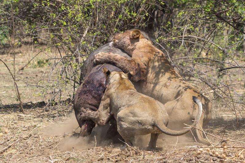 Lion and Cape Buffalo, Mana Pools National Park, Zimbabwe