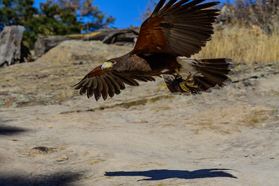 Flight of the Harris's Hawk