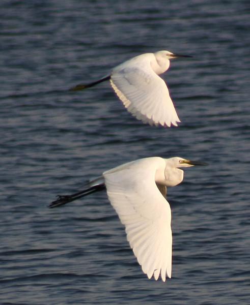 little egret and great egret.