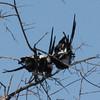 magpie shrikes in a noisy huddle. AAAAND BREAK!