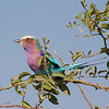 the ever popular lilac-breasted roller. I can't stop taking pics of them.