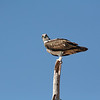 "this is how osprey's say, ""who you lookin at, pal?"""
