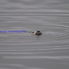 harbor seal;  very shy animal