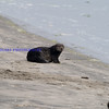 I have been shooting Sea Otters since the 90-'s. This is the first time for me to see them on the shore.