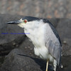 Black-crowned Night Heron( Nycticorax nycticorax  )
