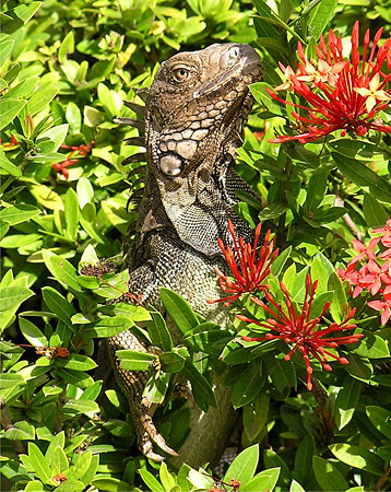 Mostly Iguanas,with a few others,Aruba
