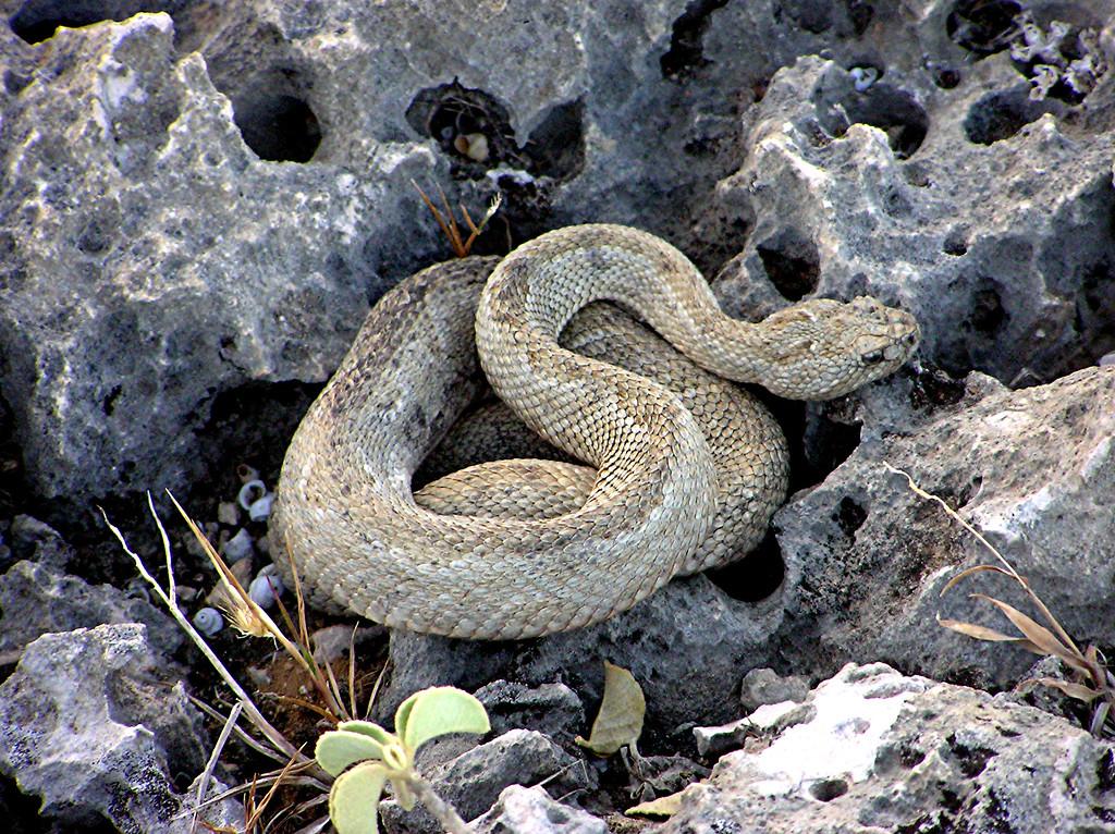 Aruban Island Rattlesnake
