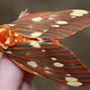 Regal Moth (Royal Walnut Moth)