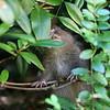 Mountain Beaver (Aplodontia rufa)<br /> 16 SEP 2008