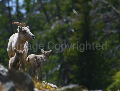 Big Horn Sheep ewe and two kids - 8/10/10