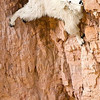 Being on a tightrope is living. Everything else is waiting. -- Karl Wallenda<br /> <br /> I never did find out how this Mountain Goat, Oreamnos americanus, managed to get down. I was there for more than an hour and it kept licking away at the mineral in the rock. It was a sheer drop below, there was no apparent way up or sideways. But then otherís did some amazing feats of climbing that the best mountain climbers would be envious of. Goat Lick Overlook, Glacier National Park, MT<br /> <br /> When contacting us regarding this print, please refer to image file Mountain Goat, Oreamnos americanus, Goat Lick Overlook, Glacier National Park, MT. Fine Art Prints are available: 24îx36î $595, 16îx24î $395, 8îx12î $195. We donate 10% of purchases to environmental or educational causes. All images are available at no charge for use by environmental, charitable, or educational organizations as long as the source is properly referenced and the image remains unedited. For commercial use, please contact us.