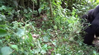 Blackback gorilla encounter