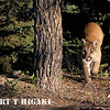 mountain lion-5
