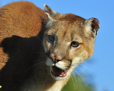 Atillie, a 3 1/2 year old Mountain Lion