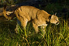 Mountain lion stalks in through the water in the grass.