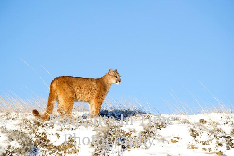 Mountain lion Puma concolor