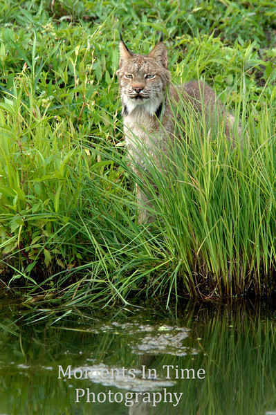Lynx poised in tall grass