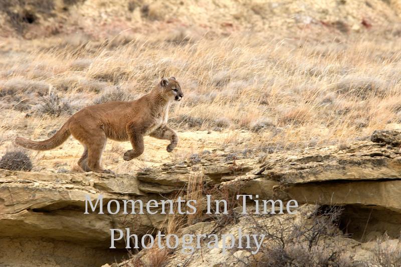 Cougar on rocky ledge