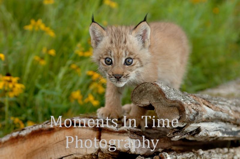 Lynx kitten on log