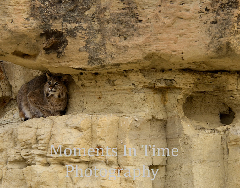 Bobcat on rock ledge