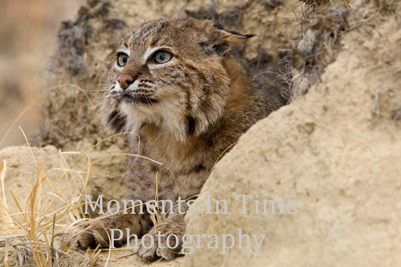 Bobcat (felis rufus)