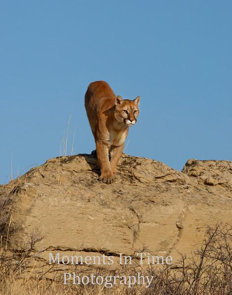 Mountain lion (Puma concolor)