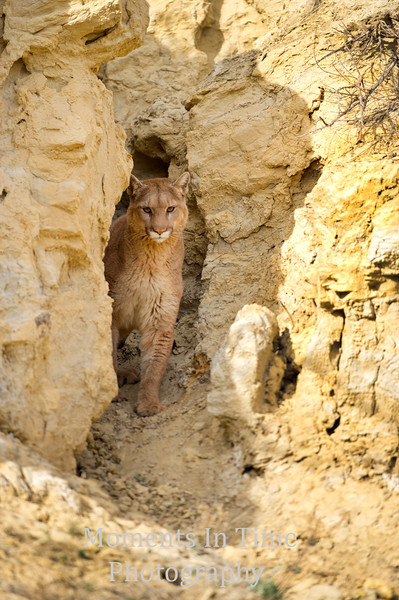 Mountain lion ( Puma concolor)