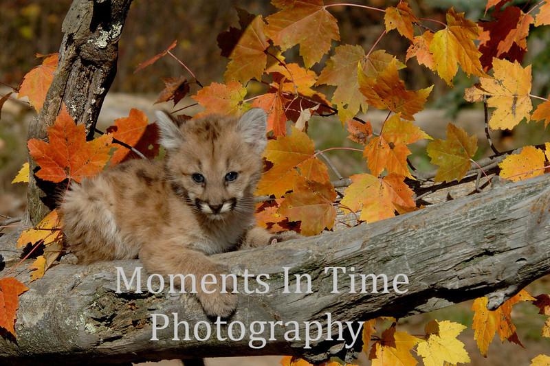 Cougar cub 5