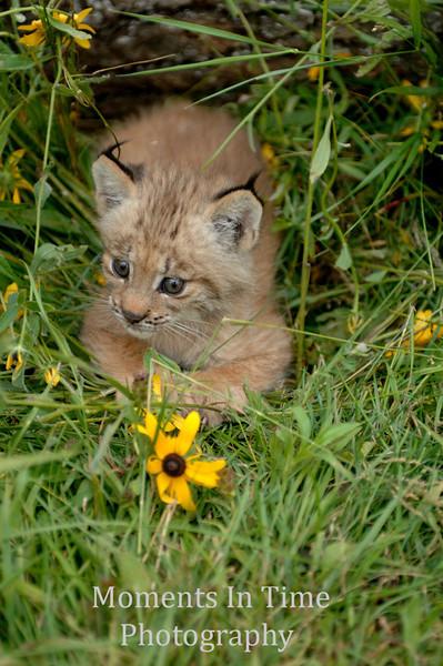 Lynx kit nestled in grass