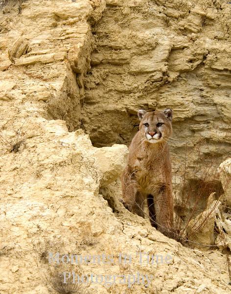 Cougar in Badlands v