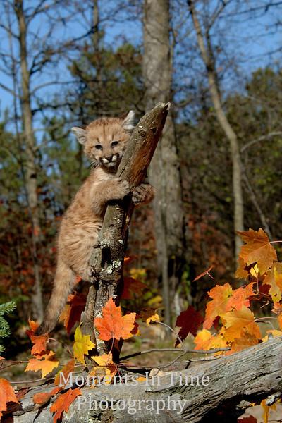 Cougar cub clinging