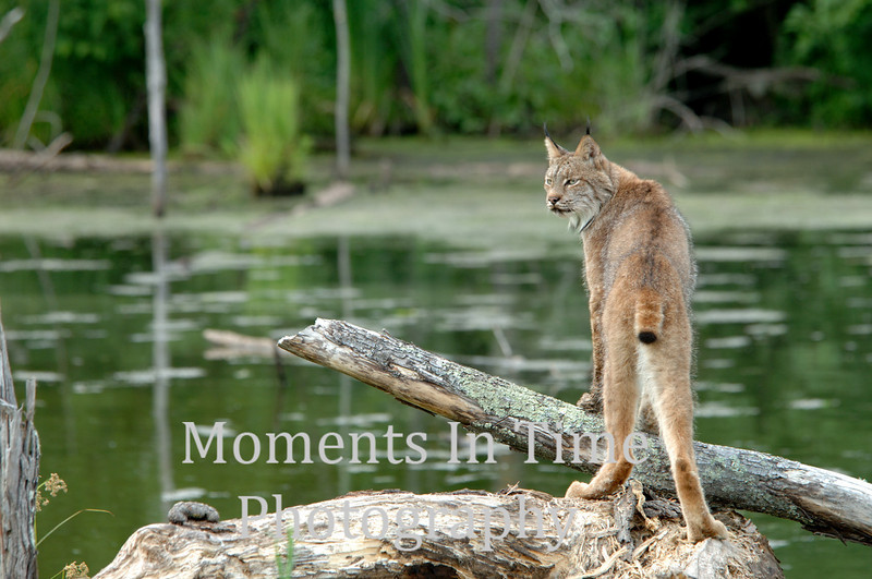 Lynx on guard