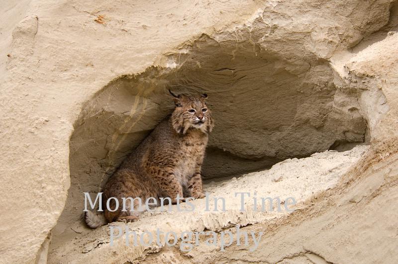 Bobcat in rock arch