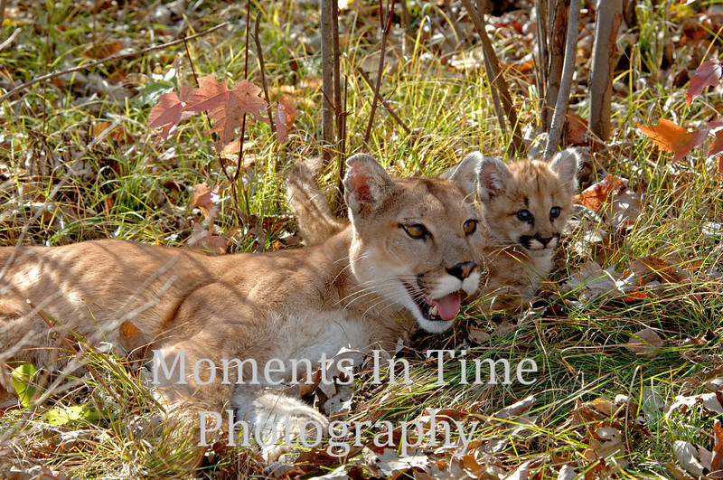 Cougar with cub
