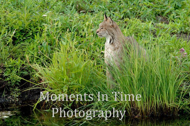 Lynx profiled in grass