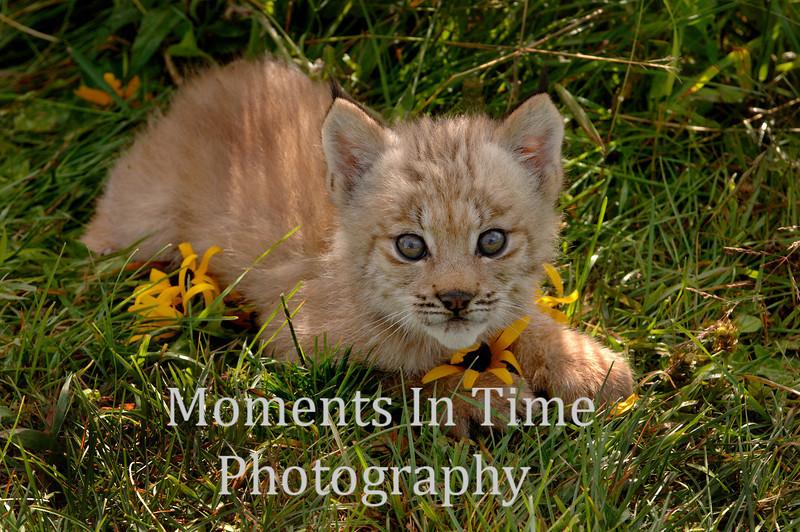 Lynx in flowers