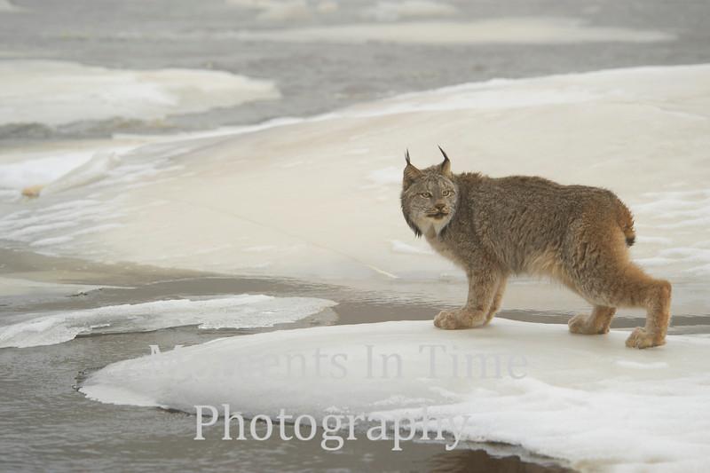 Lynx   lynx Canadensis