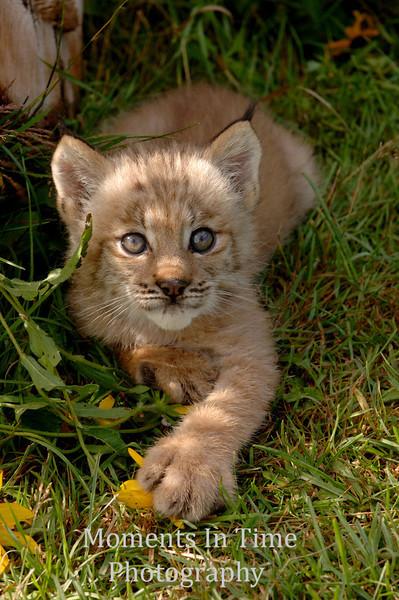 Lynx kitten in meadow grass