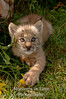 Lynx kitten in meadow grass