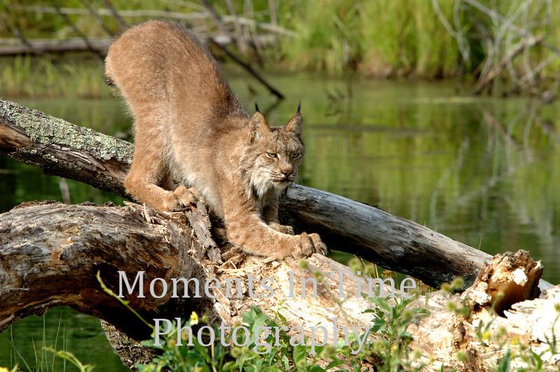 Lynx marking territory