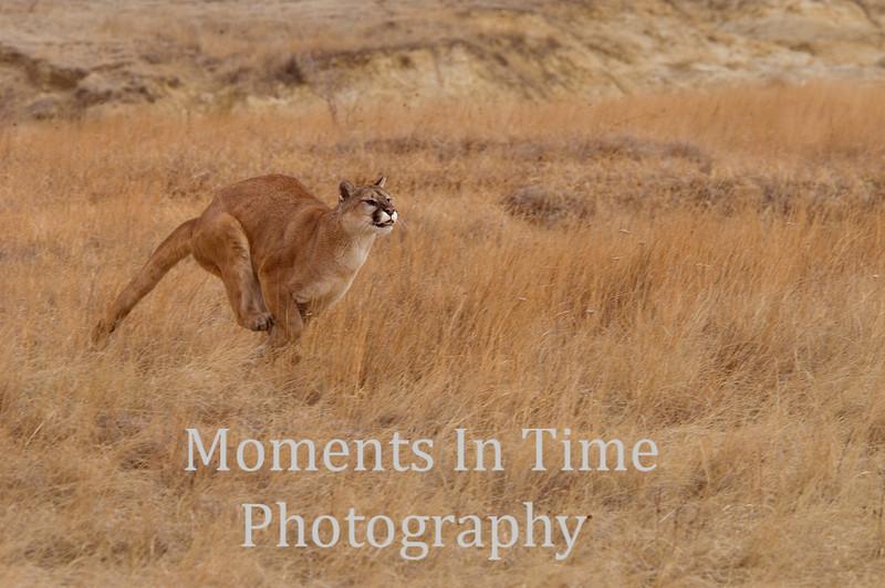Cougar full run