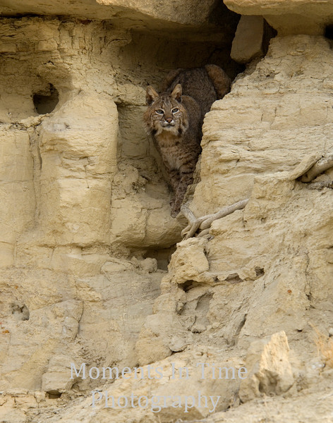 Bobcat in the Badlands