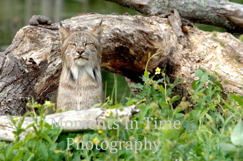 Lynx portrait framed