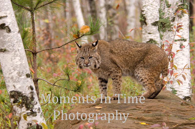 Bobcat posing on rock
