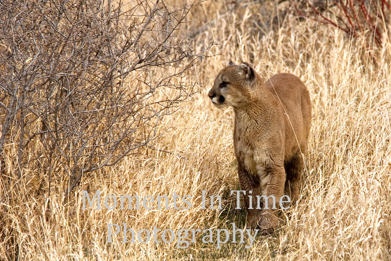 Cougar walking in grass